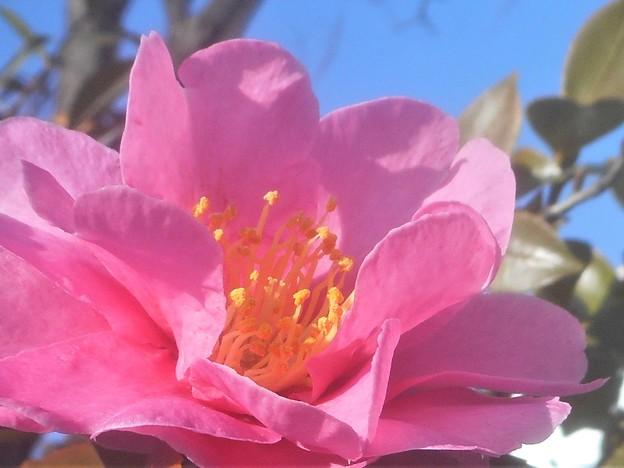 早春に咲く@薄紅色のサザンカ@八重咲き