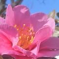 Photos: 早春に咲く@薄紅色のサザンカ@八重咲き