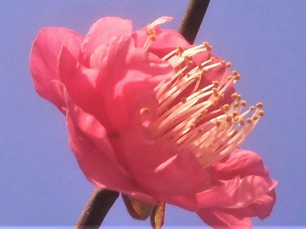 新春の八重の寒紅梅