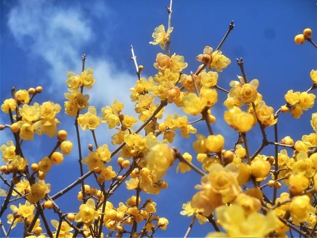 新春の青空に ソシンロウバイ@高師神社周辺