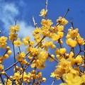 写真: 新春の青空に ソシンロウバイ@高師神社周辺