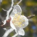 写真: 咲き始めた早春の白梅@高諸神社