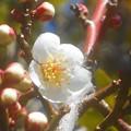 新春の白梅 ほころびて@福山・高諸神社