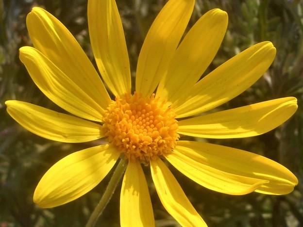 新春に咲く ユリオプスデージー