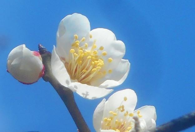 早春の白梅@福山・高諸神社