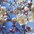 Photos: 早春の梅の便り@料理屋の梅林