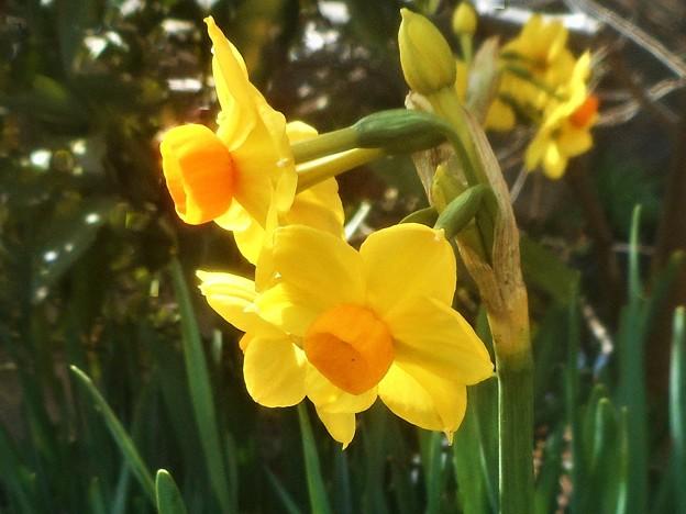 早春の黄水仙たち@福山・高諸神社周辺