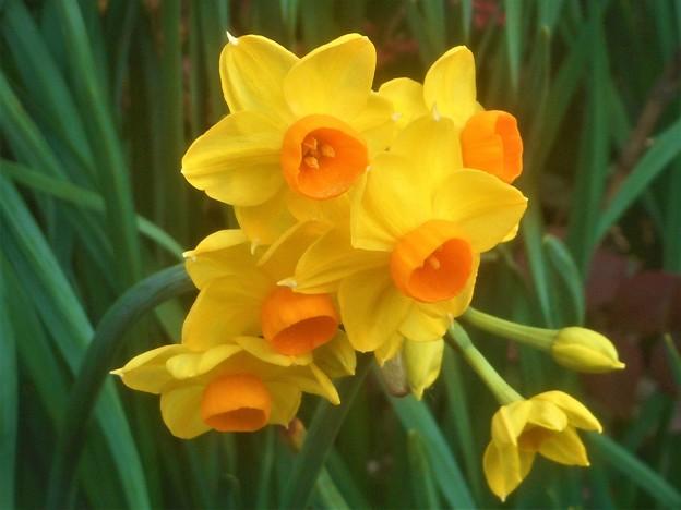 早春の甘く香る黄水仙たち@福山・高諸神社周辺