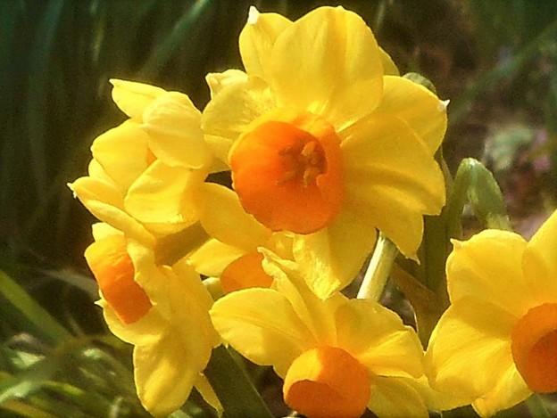 早春の甘い香りの黄水仙@高諸神社周辺