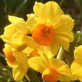 写真: 早春の甘い香りの黄水仙@高諸神社周辺