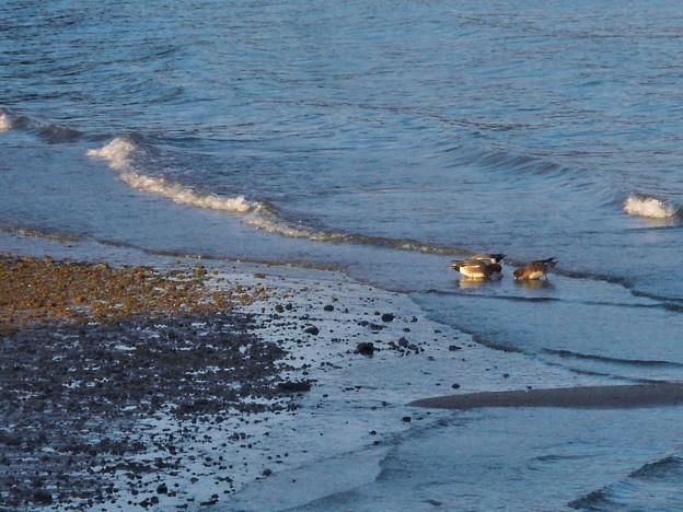 渚で遊ぶ野鳥たち@日曜日の瀬戸内海