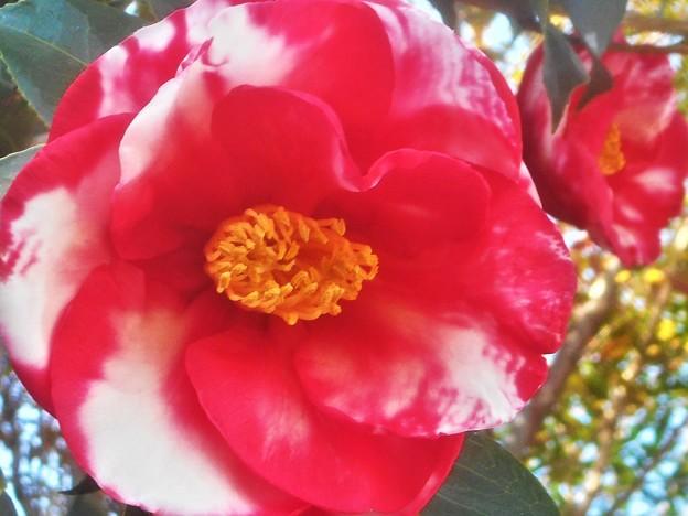 紅白絞りの寒椿