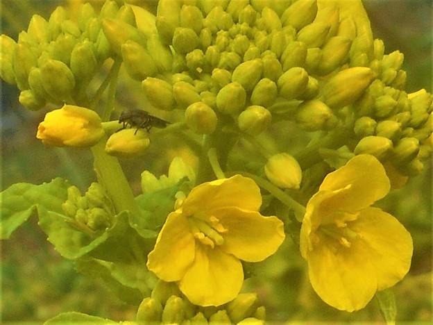 菜の花にアブの幼虫