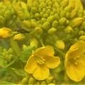Photos: 菜の花にアブの幼虫