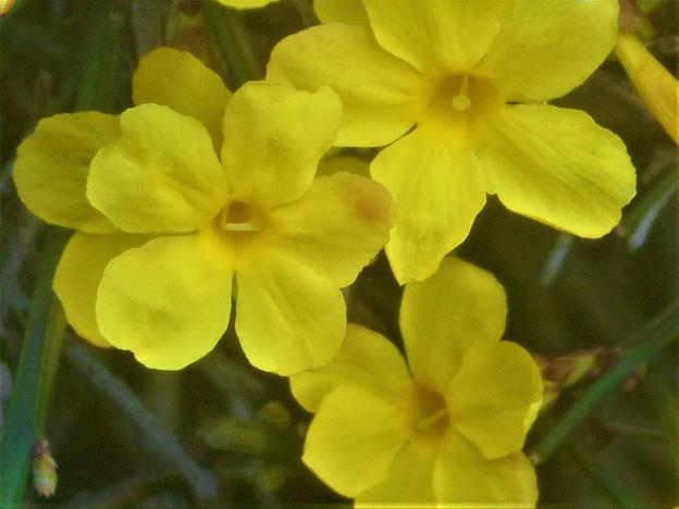 しだれて咲く 雲南黄梅(ウンナンオウバイ)@平木山の麓