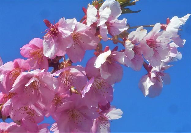 春風吹いて 清々しく寒桜咲く