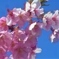 Photos: 春風吹いて 清々しく寒桜咲く