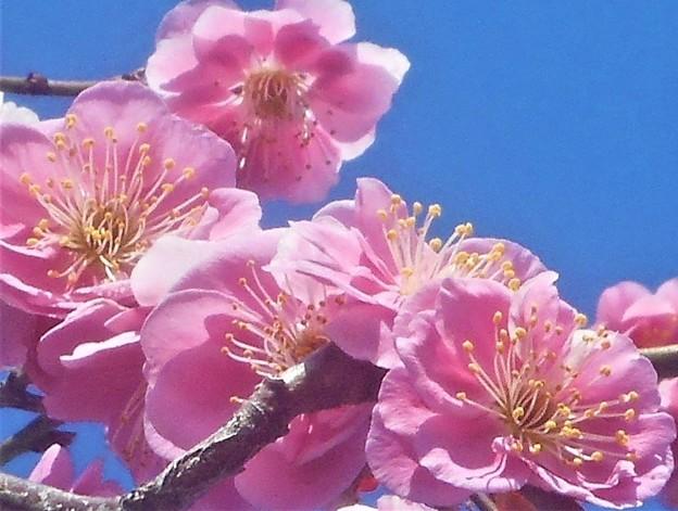 薄紅に咲く 八重の紅梅