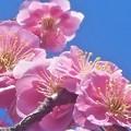 Photos: 薄紅に咲く 八重の紅梅
