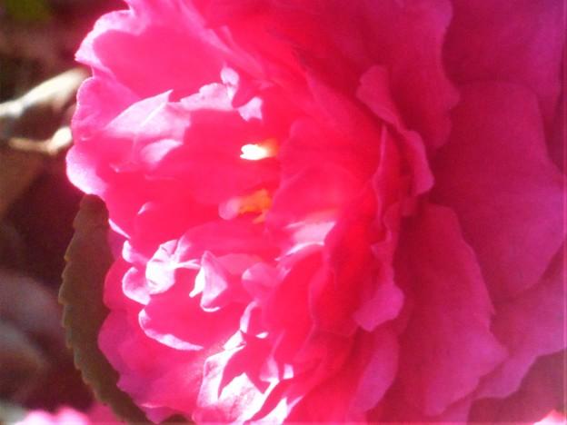 春めく光のなかで@八重のサザンカ咲く