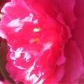 Photos: 春めく光のなかで@八重のサザンカ咲く