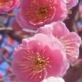 如月に咲く 八重の枝垂れ紅梅