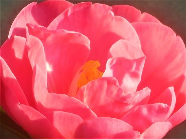 八重に咲くサザンカの花@三原城址周辺
