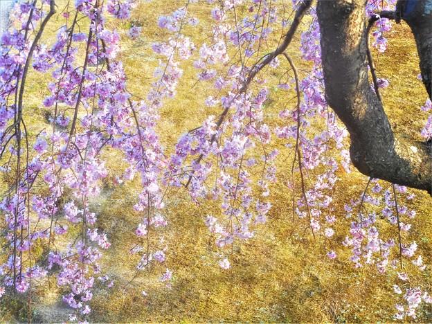 紅枝垂れ桜が満開@福島・三春滝桜の子孫樹@千光寺山