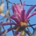 薄紫色に咲く 四手辛夷(シデコブシ)