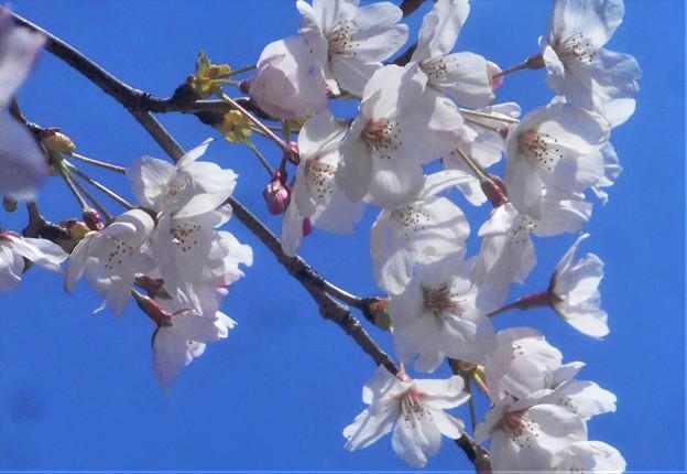 桜の花びら散るたびに~