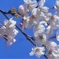 Photos: 桜の花びら散るたびに~