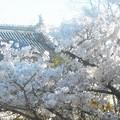Photos: 鯱(しゃちほこ)と桜@千光寺山