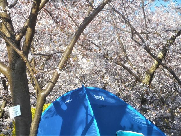 桜を愛するアウトドア派グループ発見@千光寺山頂付近・東斜面