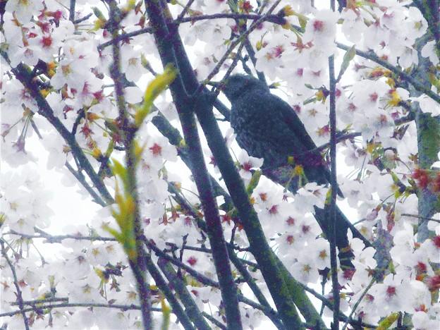 桜と野鳥@平木山中麓