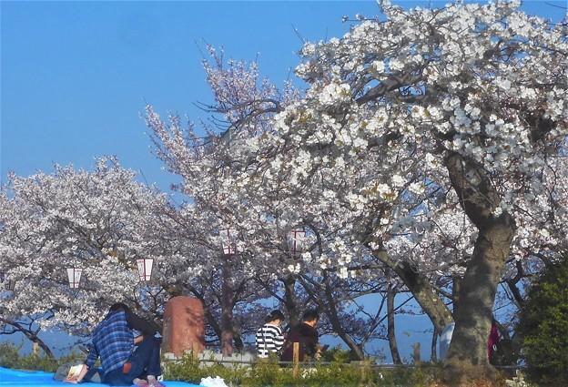 お花見の席取り係もいる桜の名所@千光寺山