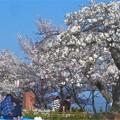 Photos: お花見の席取り係もいる桜の名所@千光寺山