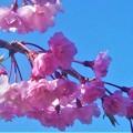 紅枝垂れ桜(ベニシダレザクラ)@芝生公園