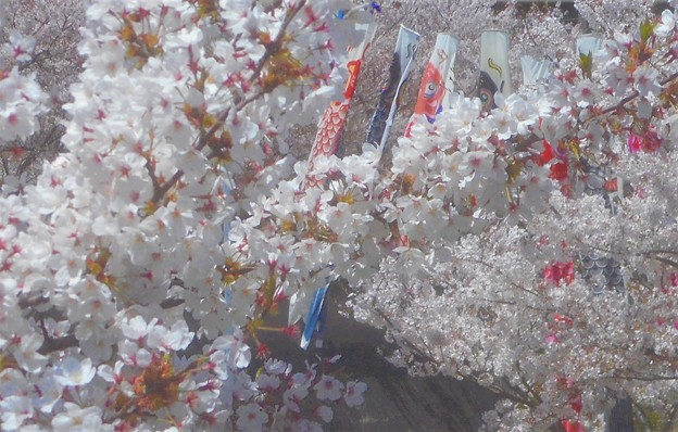 桜吹雪と鯉のぼり@黒崎水路
