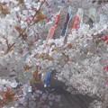 Photos: 桜吹雪と鯉のぼり@黒崎水路