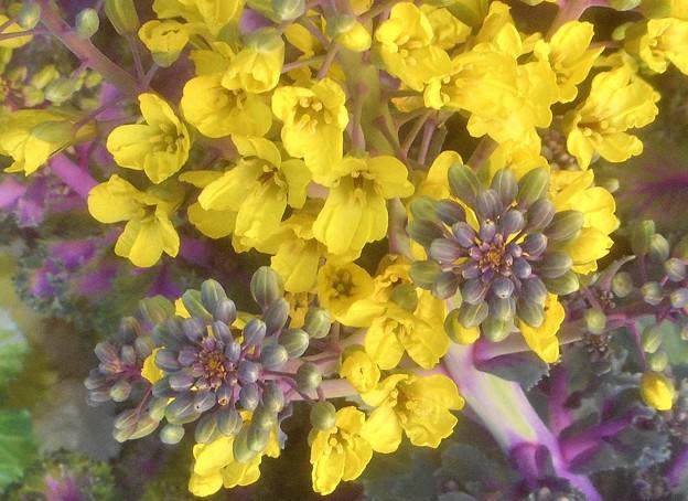 黄ら黄らと初夏に咲く葉ボタンの花