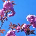 さつき亭横の八重桜(ボタン桜)@千光寺山