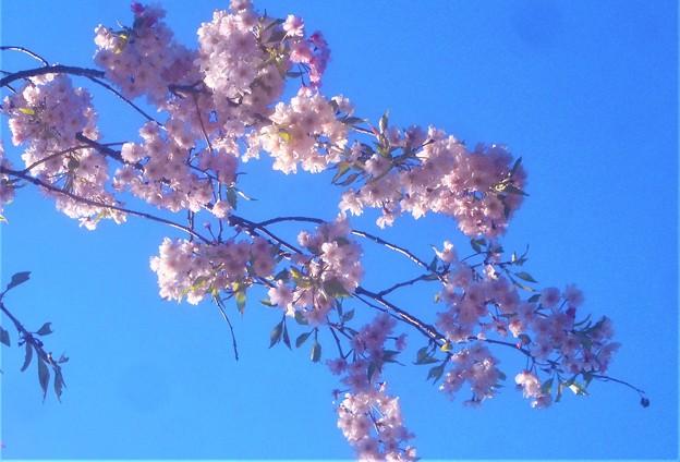 11年目の千垂の桜@千光寺山