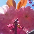 千光寺山の牡丹桜(八重桜)