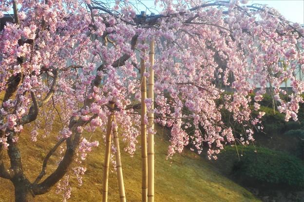 三春滝桜(11年目の子孫樹)@千光寺山