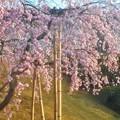 Photos: 三春滝桜(11年目の子孫樹)@千光寺山