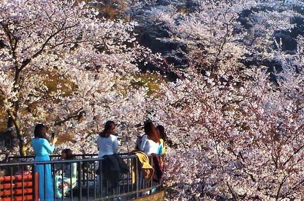 満開の桜と女旅@千光寺山