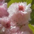 菊桜が満開@千光寺山