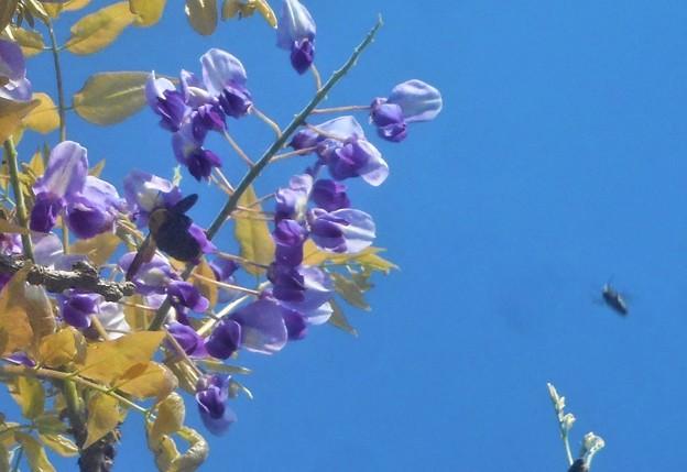 クマバチの好きな藤の花@千光寺山