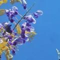 Photos: クマバチの好きな藤の花@千光寺山