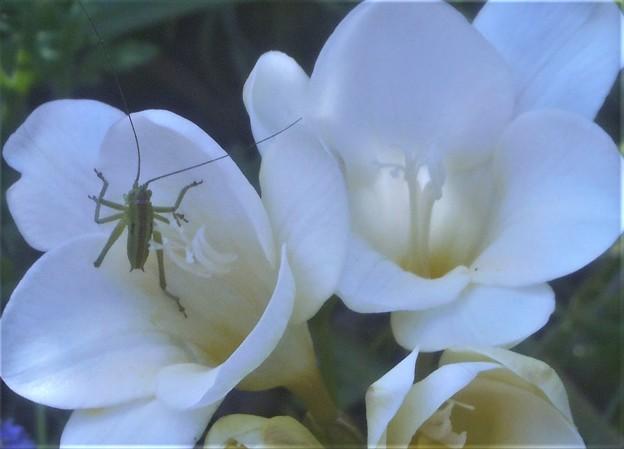 白いフリージアに初夏の昆虫@千光寺山中麓